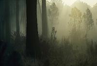 Europe/France/Aquitaine/Gironde/Env d'Arcachon : Brumes et forêt