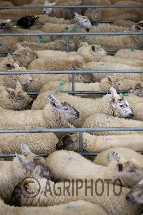 Finished Sheep in Melton Mowbray Livestock Market.Picture by Tim Scrivener date taken 14th March 2012.mobile 07850 303986 e-mail tim@agriphoto.com.....covering agriculture in The United Kingdom....