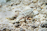 Moorea, French Polynesia; Speckled Sandperch (Parapercis hexophthalma), solitary or form loose small groups, found in sand or rubble bottoms on coastal, lagoon and outer reefs in 8-25 meters, in Indo-West Pacific Ocean region, Red Sea and E. Africa and to Marshall Island in Micronesia and Samoa, to 28 cm , Copyright © Matthew Meier, matthewmeierphoto.com All Rights Reserved