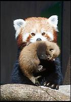 Endangered Red Panda born at Longleat.