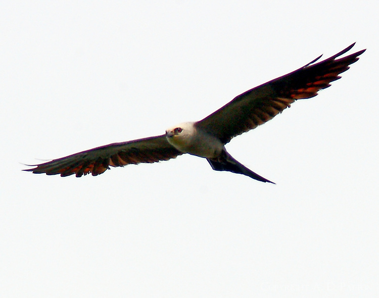 Adult male Mississippi kite