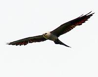 Adult male Mississippi kite