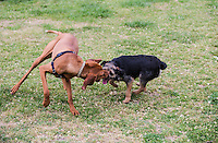 Archer the Border Terrier puppy playing with a Vizsla at Princes Park, Melbourne, October 2015