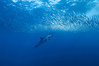long-beaked common dolphins, Delphinus capensis, feeding on sardine, South Africa, Wild Coast, annual sardine run