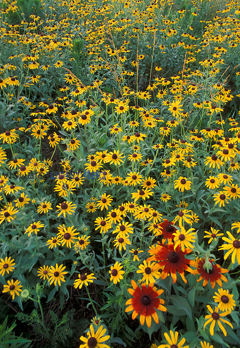 Black-eyed Susans (Rudbeckia hirta) and Gloriosa Daisies (Rudbeckia gloriosa) in a meadow, Eastern USA.
