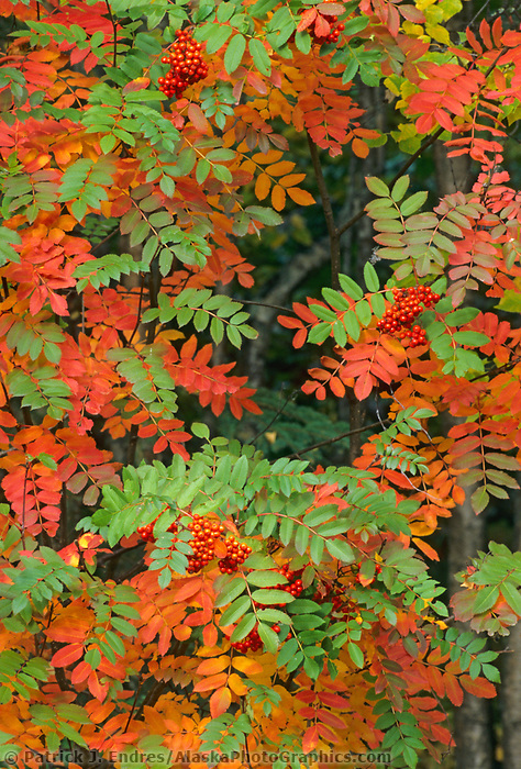 Sumac in autumn foliage, George Parks Highway, Interior Alaska