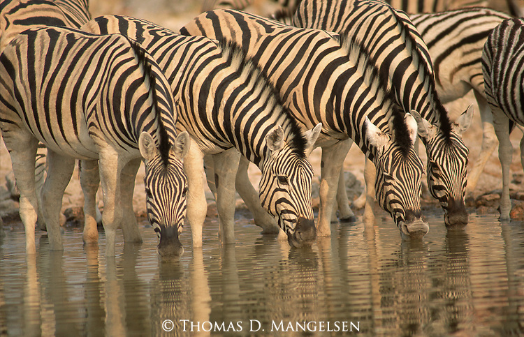 A line of zebras drink from a watering hole in Etosha National Park, Namibia.