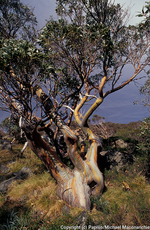 Snow Gum, Eucalyptus pauciflora, Kosciusko National Park, New South Wales, NSW, Australia,