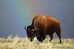 Bison with Rainbow