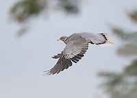 A band-tailed pigeon in flight.<br />