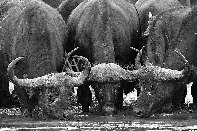 Cape buffalo in the Sand River at MalaMala.  This image is also available in color.