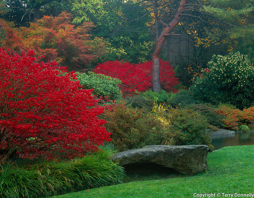 Kubota Gardens, Seattle, WA<br /> Vibrant red autumn leaves of burning bush (Euonymus alatus) accentuates a garden bed near the ponds in the Tom Kubota Stroll Garden