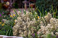 Lavandula allardii 'Meerlo' variegated lavender in Arlington Garden, Pasadena