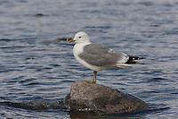 Sturmmöwe, Sturm-Möwe, Möwe, Sturmmöve, Larus canus, common gull