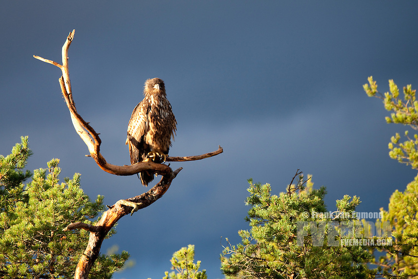 White-tail Eagle (Haliaeetus albicilla)..Estonia.