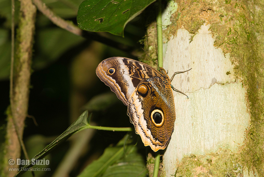 Owl Butterfly, Caligo atreus dionysos, perched on a tree trunk at La Selva Biological Station, Costa Rica