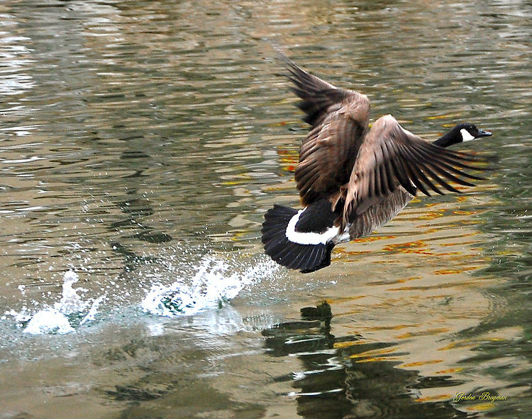 A Canadian Goose rises from the Pigeon River near the Old Mill in Pigeon Forge, Tennessee.