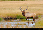 Bull Elk in Creek, Norris Junction, Yellowstone National Park, Wyoming