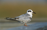 Forster's Tern, Sterna forsteri, adult resting on Boardwalk winter plumage, Port Aransas, Texas, USA, March 2003