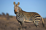 Cape Mountain Zebra, Equus zebra zebra, in Mountain Zebra National Park, Eastern, Cape, South Africa