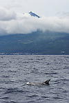 Risso dolphin at the bottom of Mount Pico (2351 m). Pico island