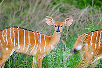 The Nyala is an Antelope. Nyala females at Emdoneni Game Reserve, South Africa.
