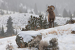 A bighorn sheep ram stands on a hillside during the rut in Dubois, Wyoming.