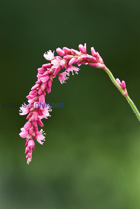 Knotweed or Fleeceflower flower (Persicaria), Virginia, USA