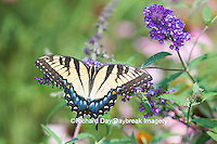 03023-02913 Eastern Tiger Swallowtail Butterfly (Papilio glaucus) on Butterfly Bush (Buddleia davidii), Marion Co., IL