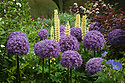 Allium 'Purple Sensation' and Lupinus 'Chandelier', early June.