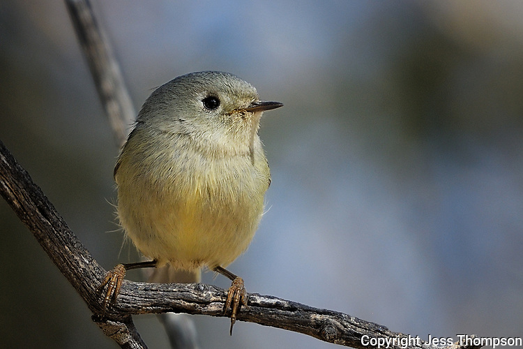 Ruby-crowned Kinglet, Fort Davis State Park