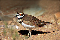 35-B05-KL-01   KILLDEER (Charadrius vociferus) Cibola National Wildlife Refuge, Arizona, USA.