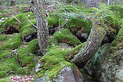 Moss covered tree in the White Mountains, New Hampshire USA forest during the spring months