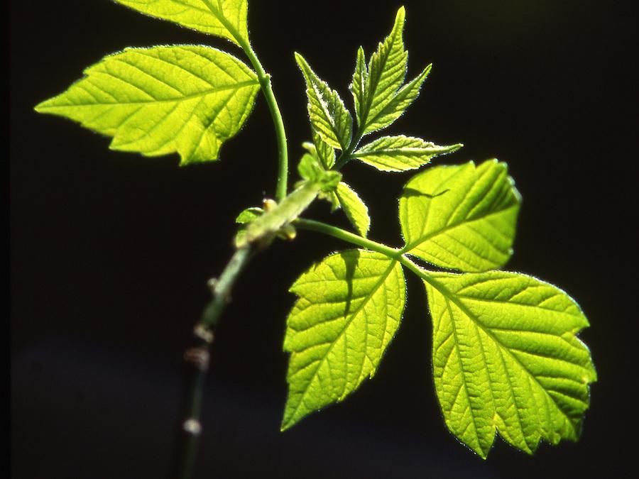 Box Elder leaf, PA forest, sunlight against shadow Spring, Pennsylvania