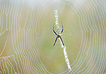 Grand Argiope Spider on web, Argiope aemula, early morning dew mist droplets, Corbett National Park, Uttarakhand, Northern India.India....