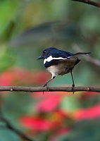 20080201_Periyar, India_ A Magpie robin in the Periyar Wildlife Sancuary in the Southern Indian state of Kerala.  Photographer: Daniel J. Groshong/Tayo Photo Group