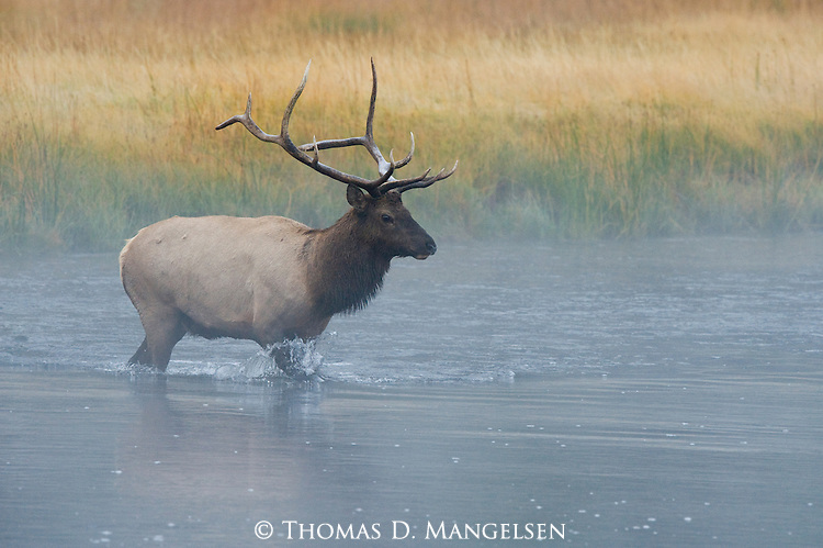 A bull elk crosses a river in Yellowstone National Park, Wyoming.