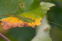 Gemeine Sichelschrecke, Männchen, Phaneroptera falcata, Sickle-bearing Bush-cricket, Sickle-bearing Bush cricket, male, Phanéroptère commun, Sichelschrecken, Phaneropterinae