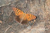 03469-00601 Tawny Emperor (Asterocampa clyton) Mississippi County, MO