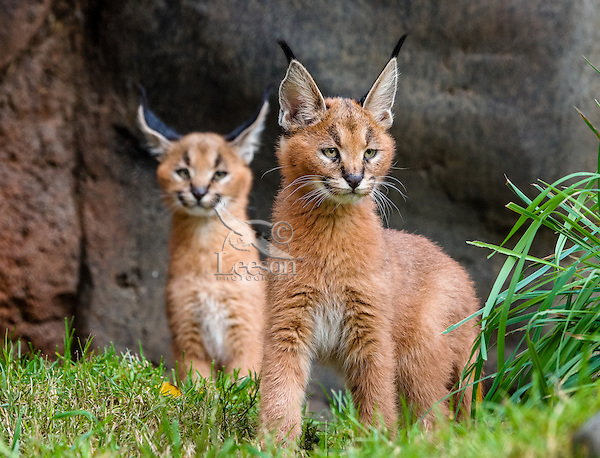 Two young Caracal Kittens (Caracal caracal).  Caracals are found in Africa to Central Asia and India.