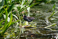 Common Moorhen (Gallinula chloropus) -  is a bird of the wetlands. It is easily recognised from its red bill and prominent shield against a blackish plumage. The juvenile is dark brown and pale below, with an olive bill and without the prominent shield. Kranji Marshes, Singapore.