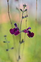 Salvia Nachtvlinder