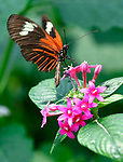 The Postman Longwing Butterfly from Costa Rica sips nectar from a flower inside the Conservatory. The Sophia M. Sachs Butterfly House, located in Faust Park in Chesterfield, turns 20 this year. They are hoping to double the size of their entomology lab where numerous species of butterflies and other insects are raised. <br /> Photo by Tim Vizer