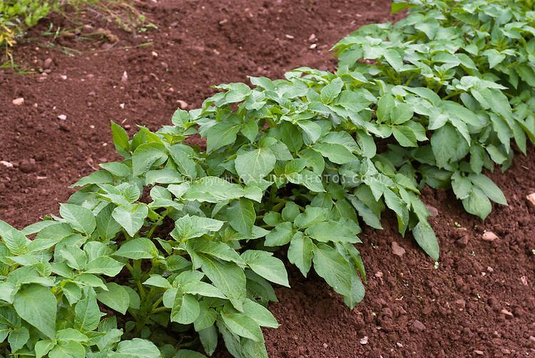 Potato 'Carlingford' root vegetable growing in mounds in soil garden