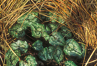 Cyclamen hederifolium & Carex comans Bronze Form