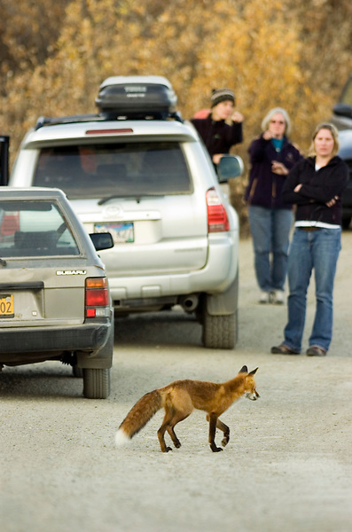 A red fox steps gingerly among road permit lottery winners who had stopped to watch a grizzly bear (not pictured).