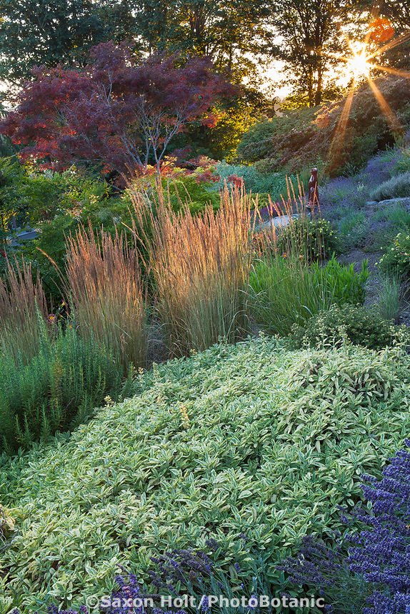 Calamagrostis x acutiflora 'Karl Foerster' (Feather Reed Grass) in afternoon light with rosemany and variegated sage, Salvia officinalis 'Variegated Berggarten'; Albers Vista Gardens, Seattle Washington