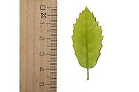 Steineiche, Stein-Eiche, Eiche, Quercus ilex, holm oak, holly oak, Evergreen Oak, Le Chêne vert, l'Yeuse, chêne faux houx. Blatt, Blätter, leaf, leaves