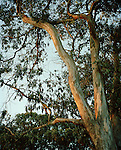 Eucalyptus tree, San Francisco, California, CA, USA