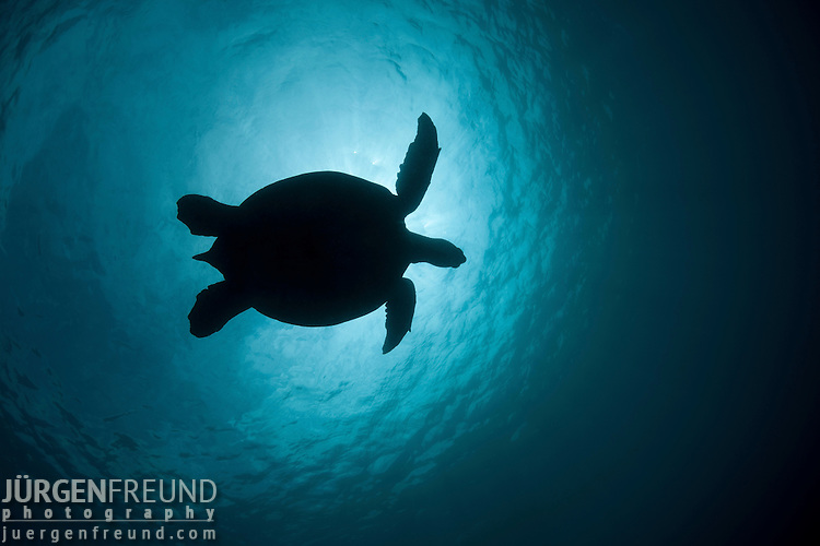 Green sea turtle (Chelonia mydas) silhouetted against the sun.